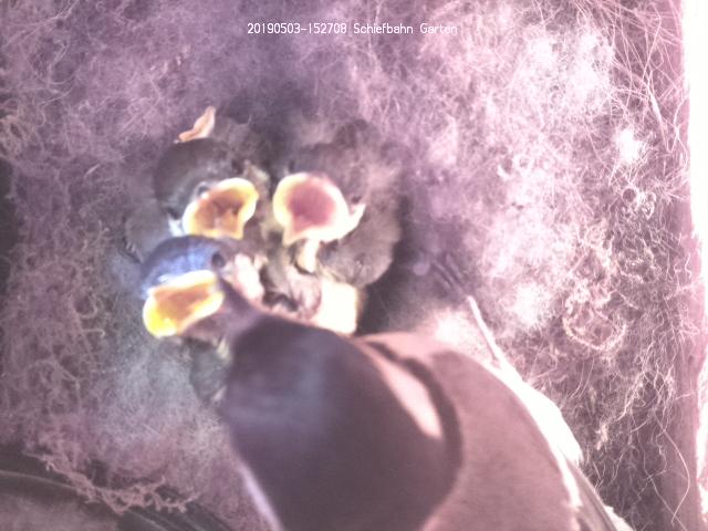 Bild aus dem Meisenkasten mit der Raspberry Pi Kamera. picam