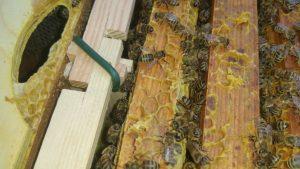 verbundene MiniPlus-Rähmchen mit Honigbienen in den Wabengassen