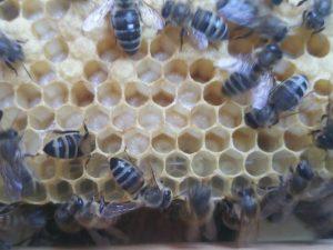 Honigbienen-Maden auf Wabe