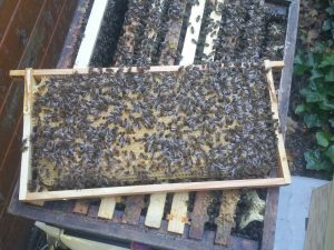 Rahmen aus dem Honigbienen-Stock