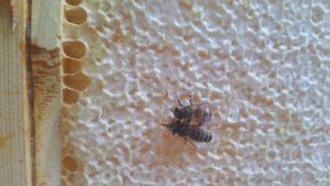 zwei verschiedene Honigbienen-Rassen auf einer Wabe
