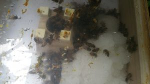 Honigbienen im Adam Fütterer