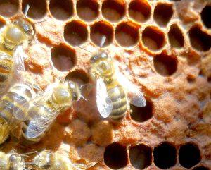 verdeckelte Honigbienen-Brut