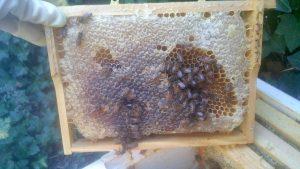 Bienen reparieren Defekt durch Futterkranzprobe