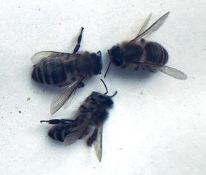 Drei tote Honigbienen