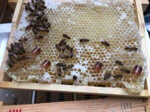 Weiselnäpchen auf Mini-Plus Honigwabe