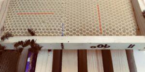 Bienen bauen gedrehte Mittelwände gleich gut aus