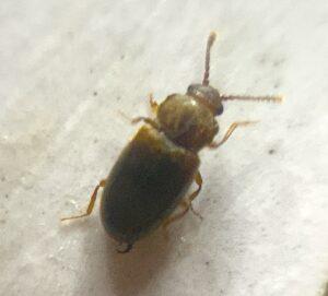 Bienenstockleben schneller Käfer