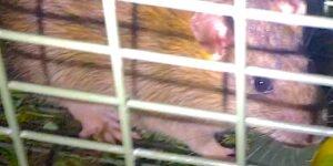 Lebendfalle - eine gefangene Ratte