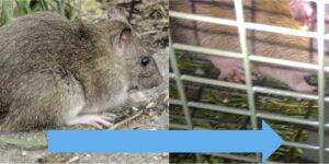 Bild: Von den Shwierigkeiten, eine Ratte mit einer Lebendfalle zu fangen.